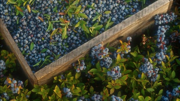 Why You Should Add Wild Blueberries to Your Diet