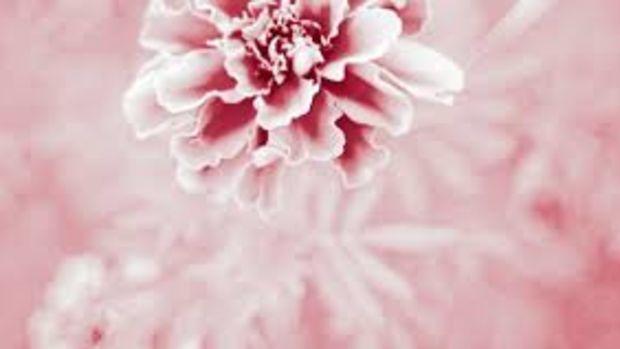pink marigolds