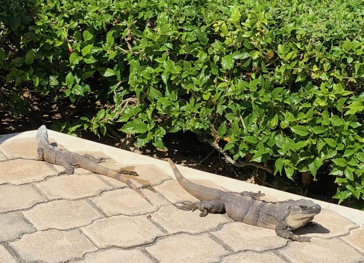 mexican iguanas