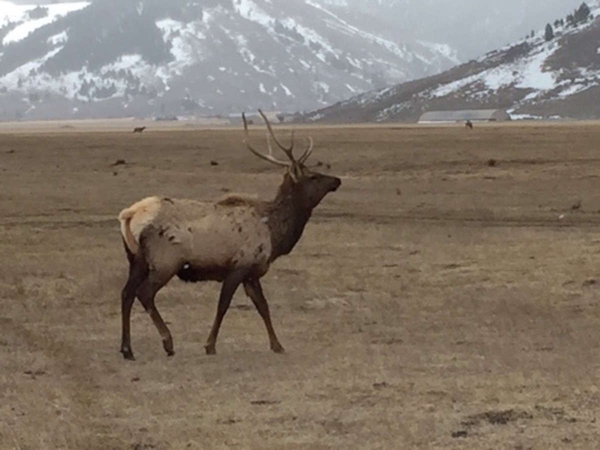 jackson-hole-elk