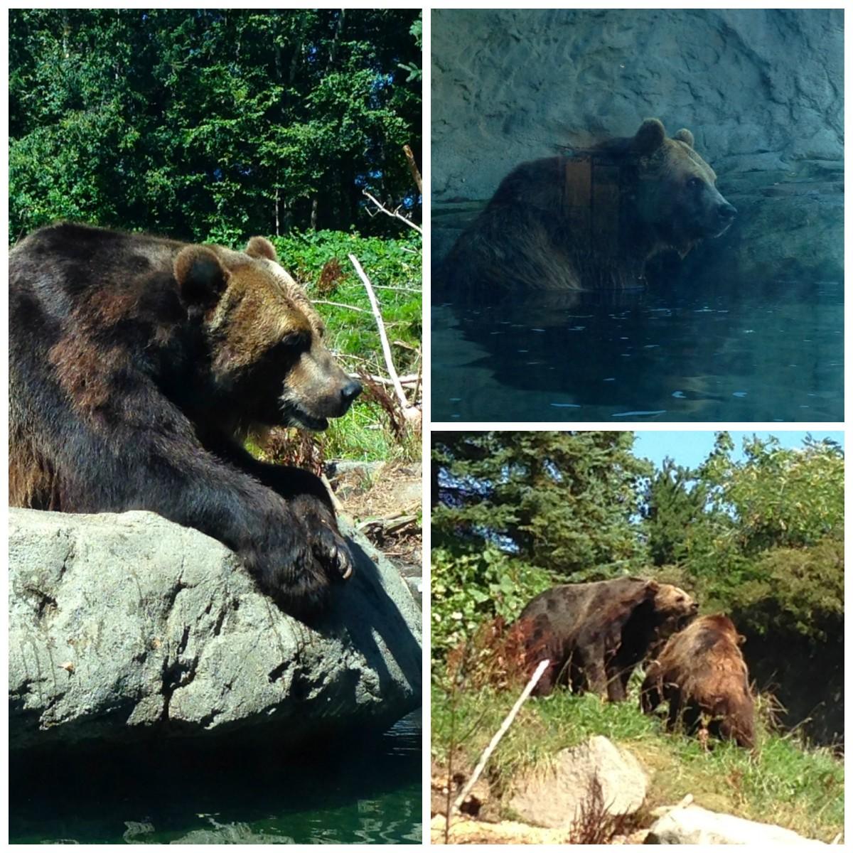 Woodland Park Zoo Bears