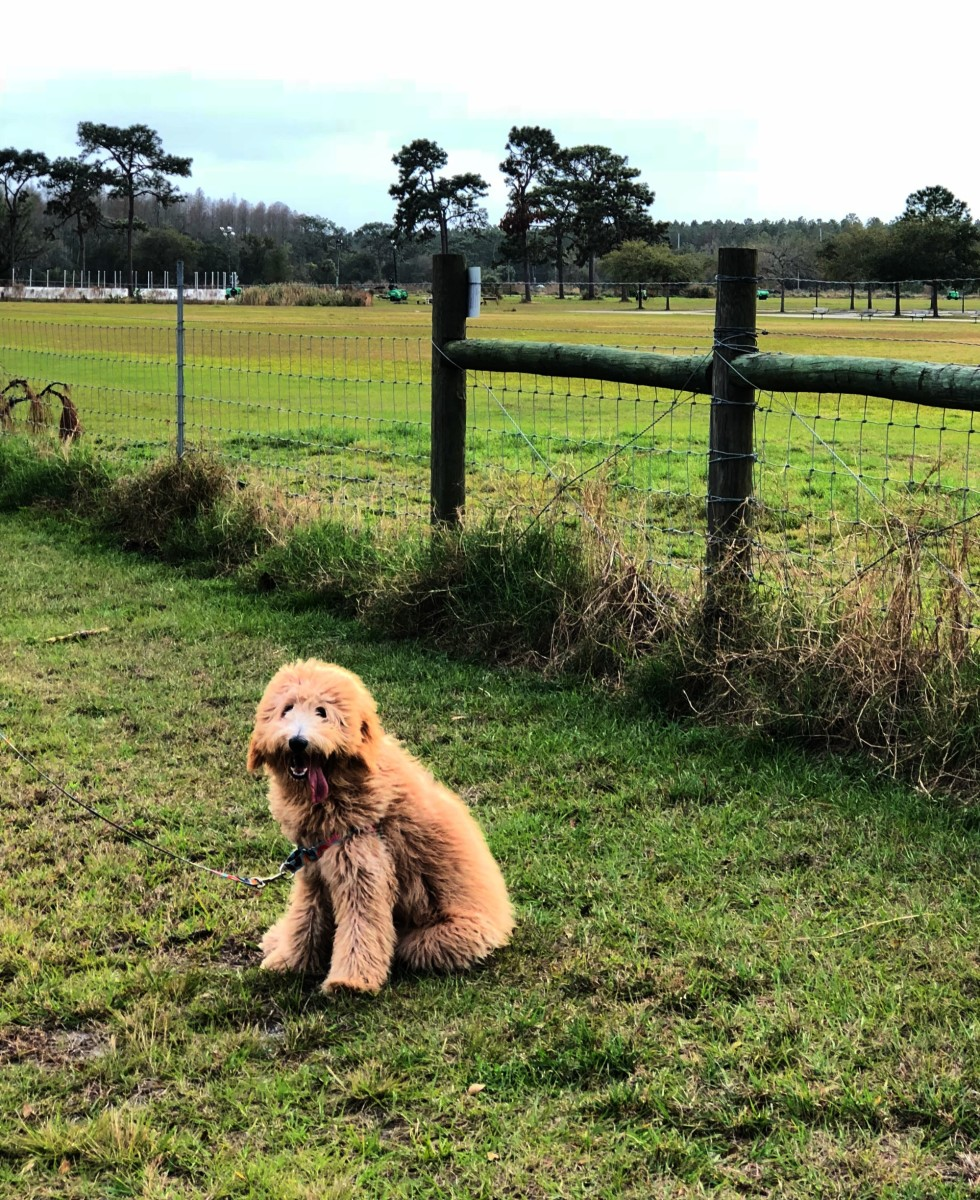 goldendoodle dog in a field