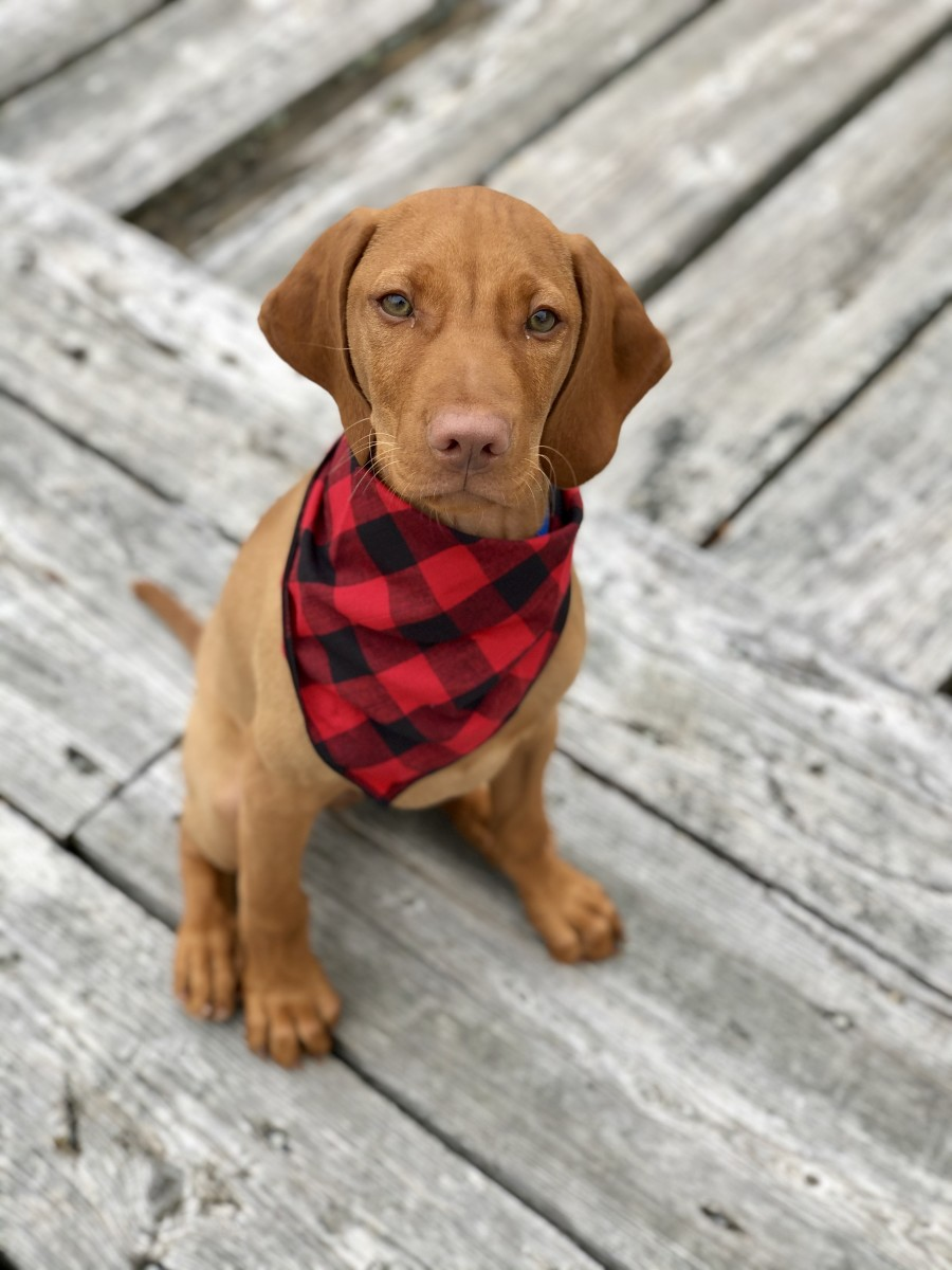 HOliday scarf for dog