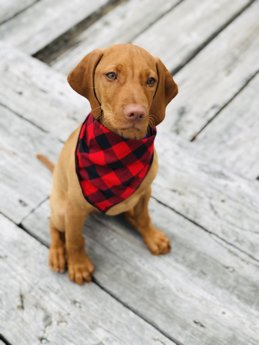 Is a Vizsla a Good Dog for Your Family